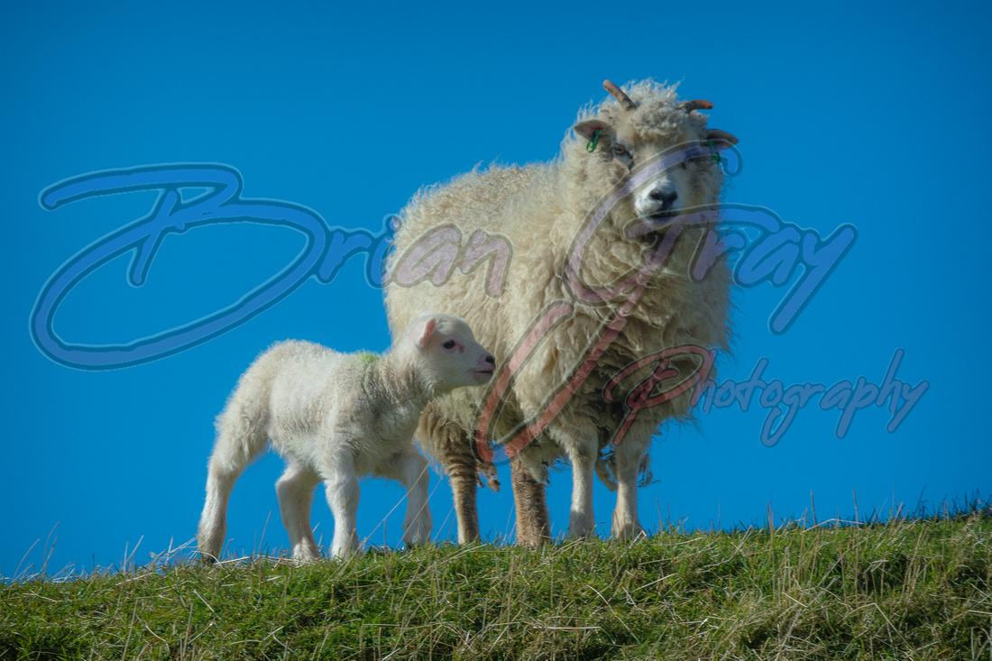 Shetland Sheep and Lamb